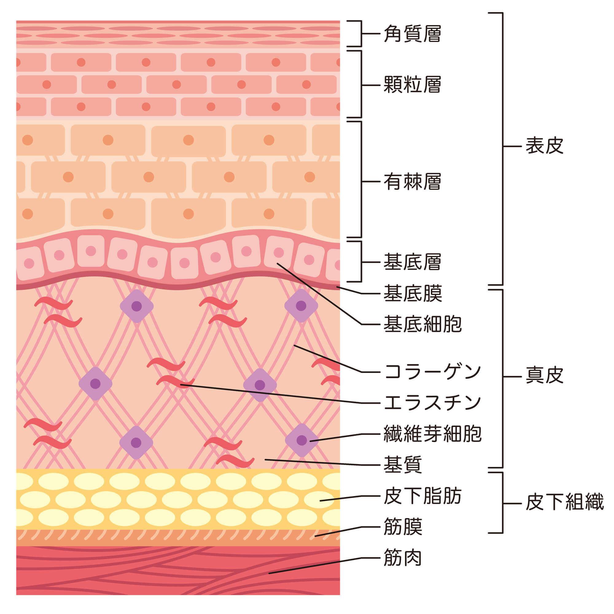 皮膚組織の説明