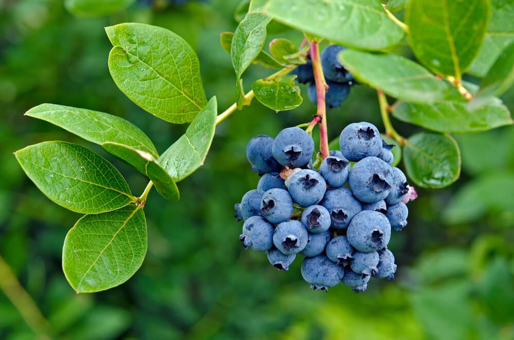 ブルーベリーの栄養素と効果