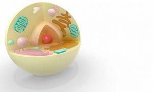 卵子にミトコンドリアがいる様子