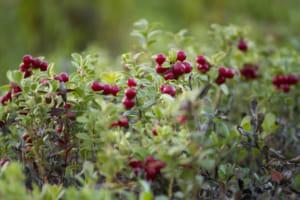 クランベリーの開花・収穫時期